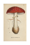 Fly Agaric, Agaricus Muscarius Giclee Print by Mordecai Cubitt Cooke