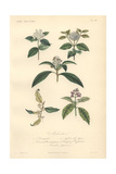 Caoutchouc Or Rubber Tree, Dogwood, Loquat, And Spotted Laurel Giclee Print by Edouard Maubert