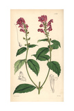 Flesh-coloured Skull-cap, Scutellaria Incarnata Giclee Print by Walter Hood Fitch