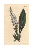 Veined-flowered Speedwell, Veronica Gentianoides Giclee Print by Sydenham Edwards