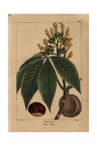 Large Buckeye Tree From Michaux's North American Sylva, 1857 Giclee Print by Pancrace Bessa