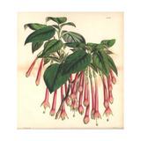 Large-flowered Apetalous Fuchsia, Fuchsia Macrantha Giclee Print by Walter Hood Fitch