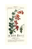 "European Barberry, Berberis Vulgaris, From Pierre Bulliard's ""Flora Parisiensis,"" 1776, Paris Giclee Print by Pierre J-F Turpin"