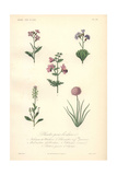 Virginia Stock, Poor Man's Orchid, Wallcress, Pennycress, And Sea Pink Giclee Print by Edouard Maubert