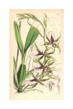 Halberd-lipped Odontoglossum Orchid, Odontoglossum Hastilabium Giclee Print by Walter Hood Fitch