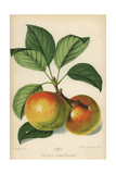 Werder's Golden Reinette Apple, Malus Domestica Giclee Print by Walter Hood Fitch