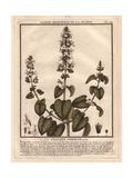 Catnip, Catswort Or Catmint, Nepeta Cataria Giclee Print by Pierre Bulliard