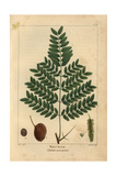 Swamp Locust Tree From Michaux's North American Sylva, 1857 Giclee Print by Pancrace Bessa