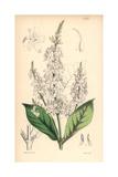White-flowered Eranthemum, Eranthemum Albiflorum Giclee Print by Walter Hood Fitch