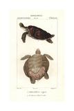 Green Sea Turtle, Chelonia Mydas (endangered) Giclee Print by Jean Gabriel Pretre