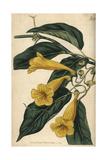 Chamberlayne's Trumpet Flower, Bignonia Chamberlaynii Giclee Print by John Curtis