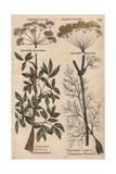Fennel, Foeniculum Vulgare And Alexanders, Smyrmium Clusatrum Giclee Print by Nicholas Culpeper