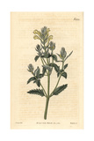 Yellow-flowered Skullcap, Scutellaria Orientalis Giclee Print by John Curtis