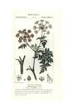 Hemlock, Conium Maculatum Giclee Print by Pierre J-F Turpin