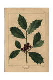 American Holly Tree From Michaux's North American Sylva, 1857 Giclee Print by Henri Joseph Redouté