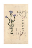 Flax, Linum Usitatissimum, And Fairy Flax, Linum Catharticum Giclee Print by W.M. Maddocks