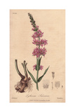 "Purple Loosestrife, Lythrum Salicaria, From Pierre Bulliard's ""Flora Parisiensis,"" 1776, Paris Giclee Print by G. Reid"