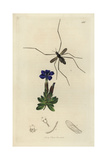 Molophilus Brevipennis, Molophilus Ater, Short-winged Mountain Gnat Giclee Print by John Curtis