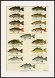 Freshwater Bass of North America Posters