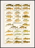 Warmwater Gamefish of North America Art