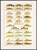 Warmwater Gamefish of North America Art