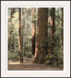 Redwoods 2 Prints by Laura Culver