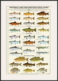 Western Gamefish Identification Chart Prints