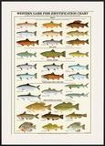 Western Gamefish Identification Chart Prints