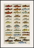 Eastern Gamefish Identification Chart Poster
