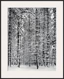 Bosque de pinos en la nieve, Parque Nacional de Yosemite, 1932 Posters por Ansel Adams