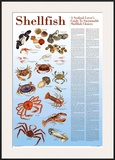 A Seafood Lover's Guide to Sustainable Shellfish Choices Prints by Brenda Gillespie