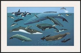 North American Whales and Dolphins Posters