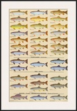 Trout, Salmon & Char of North America II Poster