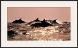 Dolphins Prints by Bob Talbot