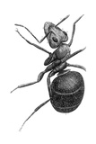 Ant, 17th Century Artwork Giclee Print by Library of Congress