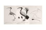 1812 Egyptian Ibis & Cuviers Evolution Giclee Print by Stewart Stewart