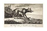 1778 Falkland Islands Wolf Fox Extinct Giclee Print by Stewart Stewart