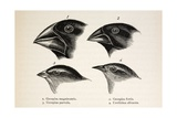 Darwin's Galapagos Finches Reproduction procédé giclée par Stewart Stewart