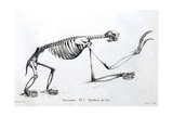1812 Sloth Skeleton by Cuvier Giclee Print by Stewart Stewart