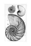 Middle Temple Library - Engraving of a Nautilus And An Ammonite Digitálně vytištěná reprodukce