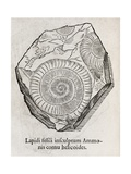 Ammonite Fossil, 16th Century Giclee Print by Middle Temple Library