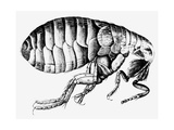 Drawing of a Flea Giclee Print by Science Photo Library