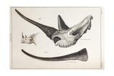 Rhino Skull Everard Home Giclee Print by Stewart Stewart