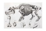 1812 Hippopotamus Skeleton by Cuvier Giclee Print by Stewart Stewart