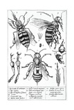 Bee Anatomy, Historical Artwork Giclee Print by Science Photo Library