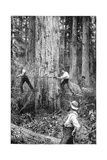 Plantation Forestry, 19th Century Giclee Print by Science Photo Library