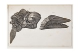 Ichthyosaur Skull And Paddle Everard Home Giclee Print by Stewart Stewart