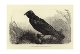 Grip, the Late Charles Dickens' Raven Giclee Print