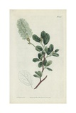 Botanical Engraving Giclee Print by Sydenham Teast Edwards