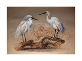 Egrets (Ardea Candidissima: Arda Garzetta), 1867 Giclee Print by Joseph Wolf